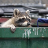 Image of: Wikipedia Wildlife Control In The Burlington Mt Pleasant Wapello Ia Area Raccoons The Daily Dot Raccoon Animal Control Burlington Mt Pleasant Wapello Ia Ccat