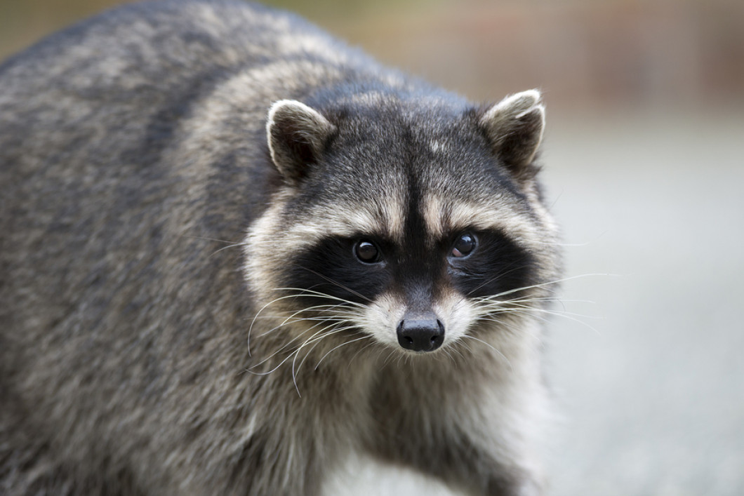 Raccoon-Portrait-59921705.jpg?w=1060&h=5